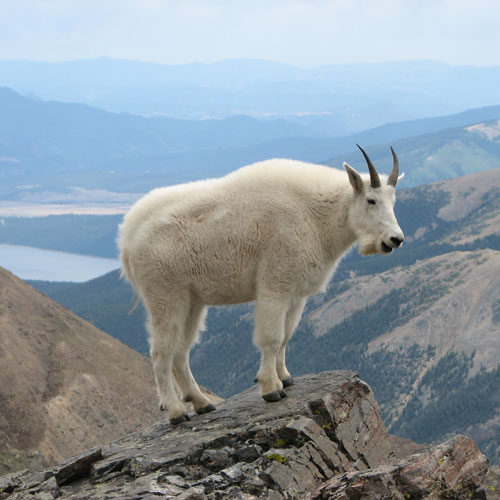 Dynamics of hunted and unhunted mountain goat Oreamnos americanus populations
