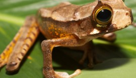 A test of the integrated evolutionary speed hypothesis in a Neotropical amphibian radiation.