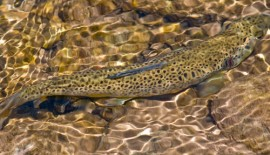 Evidence for small scale variation in the vertebrate brain: mating strategy and sex affect brain size and structure in wild brown trout (Salmo trutta)