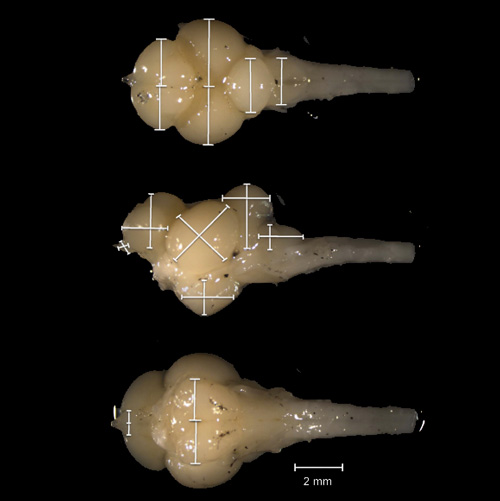 Sex, Ecology and the Brain: Evolutionary Correlates of Brain Structure Volumes in Tanganyikan Cichlids