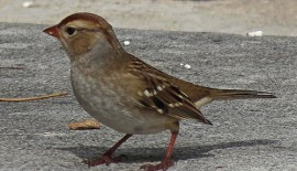 Brains and the city: big-brained passerine birds succeed in urban environments