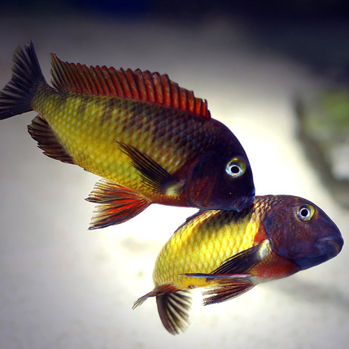 Ecology and mating competition influence sexual dimorphism in Tanganyikan cichlids