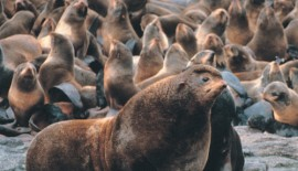 Sexual selection uncouples the evolution of brain and body size in pinnipeds.