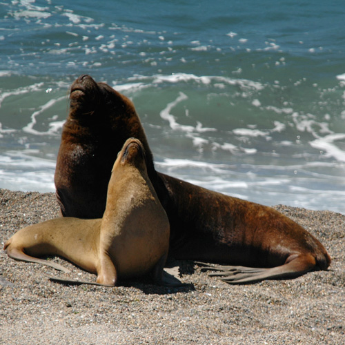 Male contest competition and the coevolution of weaponry and testes in pinnipeds.