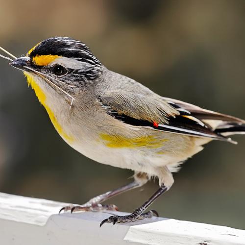 Distinct evolutionary patterns of morphometric sperm traits in passerine birds