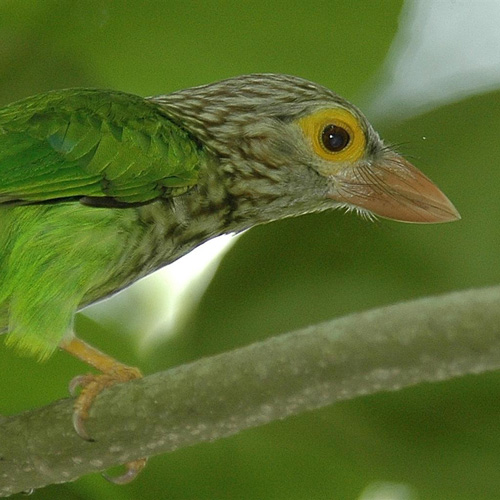 Evolution of acoustic and visual signals in Asian barbets
