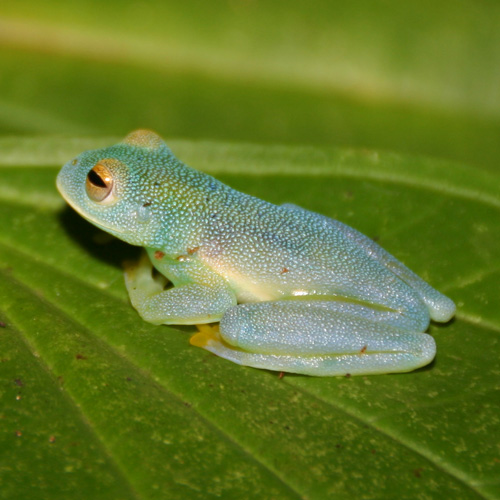 Neotropical diversification seen through glassfrogs