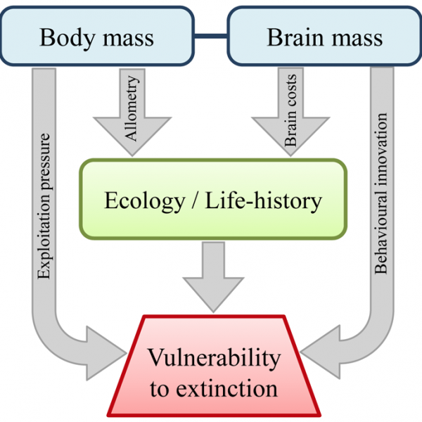 Larger brain size indirectly increases vulnerability to extinction in mammals