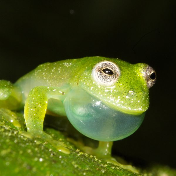 Neotropical frogs and mating songs: The evolution of advertisement calls in glassfrogs